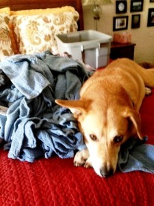 If only I could teach Dog how to fold the CFCP rags